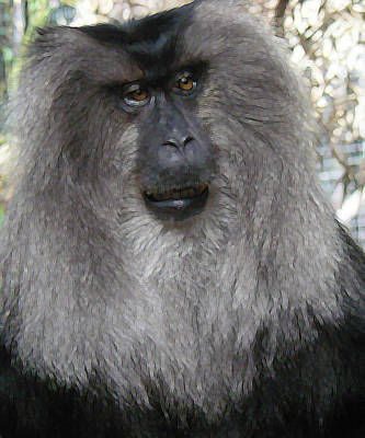 Photograph - Lion-tailed Macaque 2 by Margaret Saheed