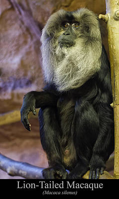 Digital Art - Lion Tailed Macaque by Chris Flees