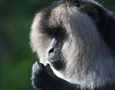 Photograph - Lion Tailed Macaque by Davandra Cribbie