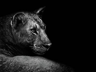 Lioness Wall Art - Photograph - Lion by Wildphotoart