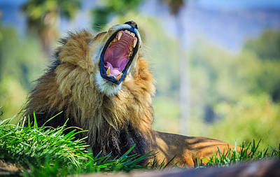 Photograph - Lion Yawn by Matthew Onheiber