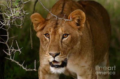 Lioness Art Print by Alison Kennedy-Benson