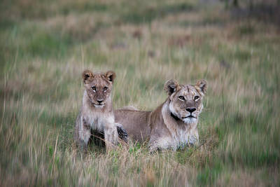 Lioness And Cub Interacting In Grass Print by Sheila Haddad