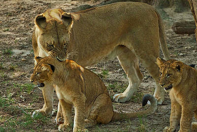 Photograph - Lioness And Cubs by Stuart Litoff
