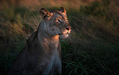 Lioness Wall Art - Photograph - Lioness At Firt Day Ligth by Xavier Ortega
