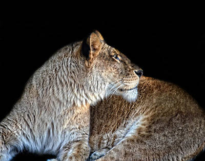 Food And Flowers Still Life - Lioness at Rest by Maggy Marsh