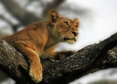 Photograph - Lioness by Christine Sponchia