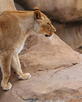 Photograph - Lioness Climbing by Coby Cooper