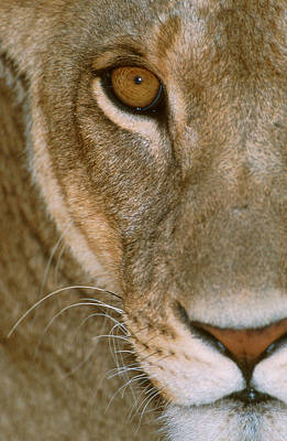 Lioness Close-up Tanzania Africa Art Print by Panoramic Images