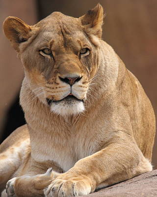 Photograph - Lioness by Coby Cooper