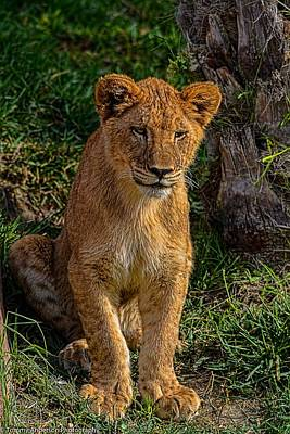 Giuseppe Cristiano - Lioness Cub 2 by Tommy Anderson