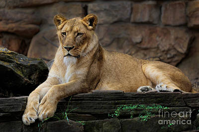 Photograph - Lioness by D Wallace