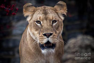 Animals Photos - Lioness by David Rucker
