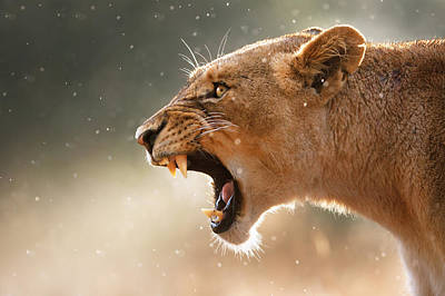 Curated Beach Towels - Lioness displaying dangerous teeth in a rainstorm by Johan Swanepoel