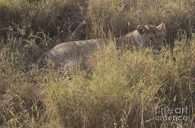 Lying In Wait Photograph - Lioness In Grass by Jill Morgan