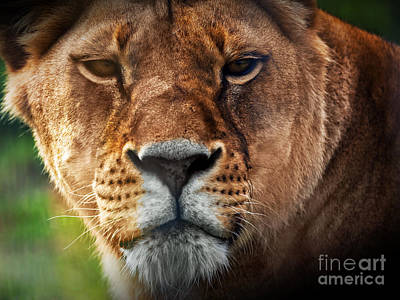 Photograph - Lioness Lion Portrait by Michal Bednarek