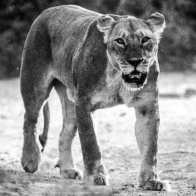 Photograph - Lioness Look Mono by Alistair Lyne
