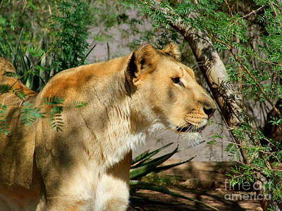 Phoenix Zoo Photograph - Lioness by Mary Deal