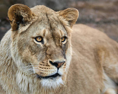Photograph - Lioness by Nikolyn McDonald