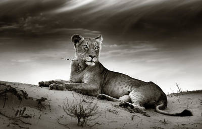 Animals Photos - Lioness on desert dune by Johan Swanepoel