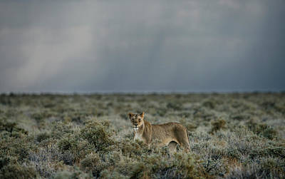 Photograph - Lioness, Panthera Leo, In A Grassy by Chris Schmid