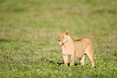 Lioness Panthera Leo Standing Art Print by Panoramic Images