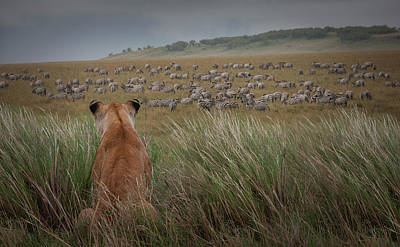 Photograph - Lioness  Panthera Leo Watching Zebras by Buena Vista Images