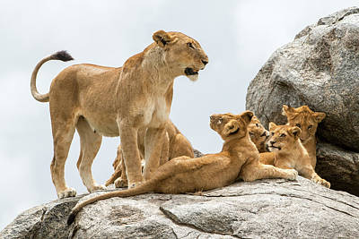 Lioness, Panthera Leo, With Its Cubs Art Print by Tom Murphy