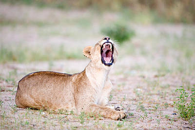 Lioness Panthera Leo Yawning Art Print by Panoramic Images