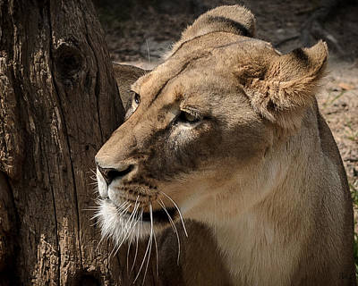 Photograph - Lioness by Pat Scanlon