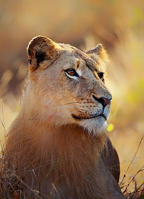 Animals Royalty-Free and Rights-Managed Images - Lioness portrait lying in grass by Johan Swanepoel