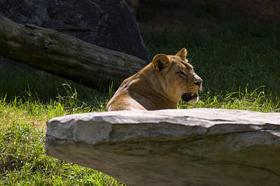 Digital Art - Lioness Resting Behind A Rock by Chris Flees