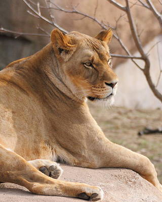 Photograph - Lioness Resting by Coby Cooper