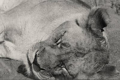 Photograph - Lioness by Sarah Boyd