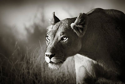 Cat Art Photograph - Lioness Stalking by Johan Swanepoel