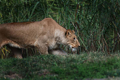 Photograph - Lioness Stalking by Joseph G Holland
