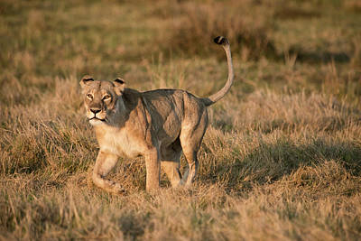Lioness Stalking (large Format Sizes Art Print by Sheila Haddad