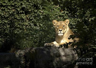 Photograph - Lioness by Tom Brickhouse