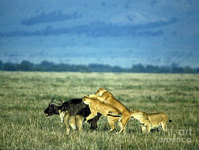 Lionesses Attack African Buffalo Art Print by Mark Newman