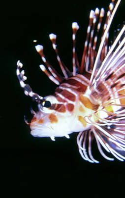 Lionfish 3 Art Print by Dawn Eshelman