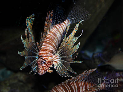 Photograph - Lionfish 5d24143 by Wingsdomain Art and Photography