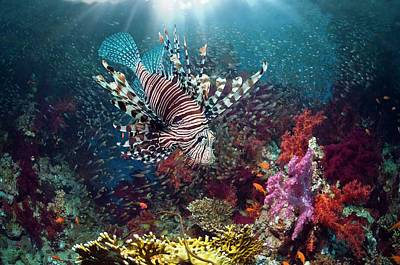 Anthozoa Photograph - Lionfish And Sweepers With Soft Coral by Georgette Douwma