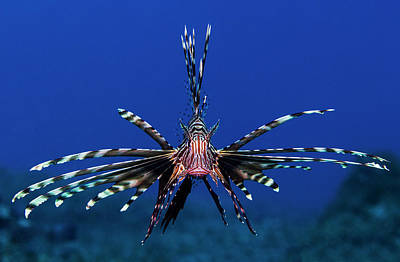Poisons Photograph - Lionfish by Anna Shvab