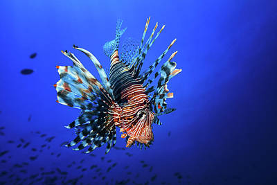 Sea Lions Photograph - Lionfish by Barathieu Gabriel