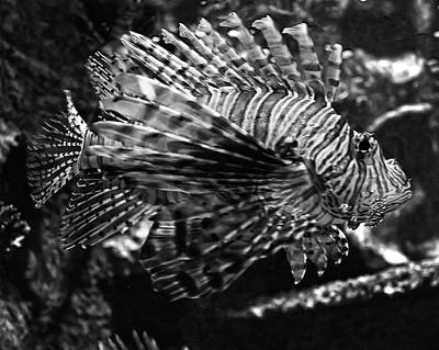 Digital Art - Lionfish by Chris Flees