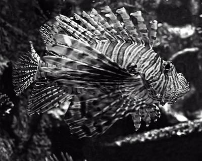 Digital Art - Lionfish by Chris Flees