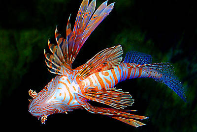 Photograph - Lionfish by Donna Proctor