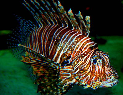Rebecca West Photograph - Lionfish IIi by Rebecca West