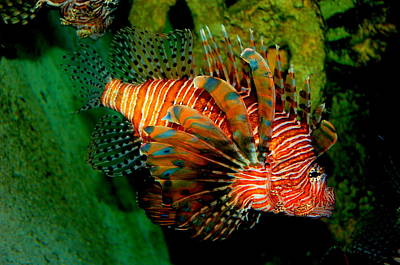 Rebecca West Photograph - Lionfish Iv by Rebecca West
