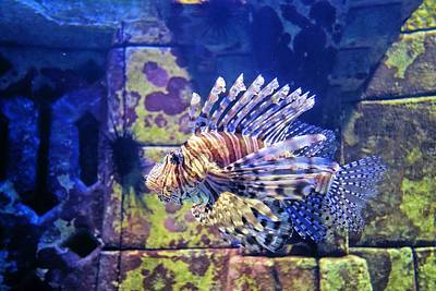 Photograph - Lionfish by Jane Girardot